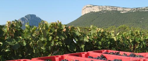 Grapes' harvest