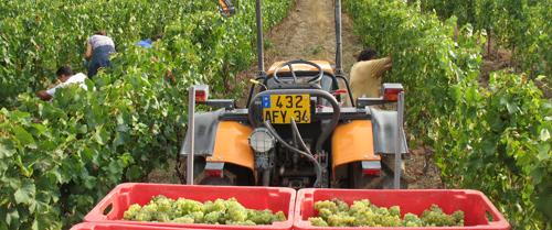 Récolte de Syrah dans les vignes